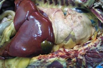 Внешний вид органов при пироплазмозе