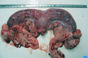 Вид матки при пиометре: Макрофото