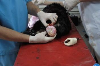 Выпадение влагалища у собаки