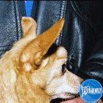 Аденома сальных желез у собаки