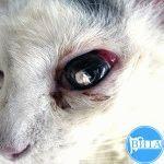Проникающее ранение в глаз у кошки
