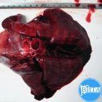 Цирроз печени у собаки: Макрофото