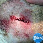 Дирофиляриоз у собаки