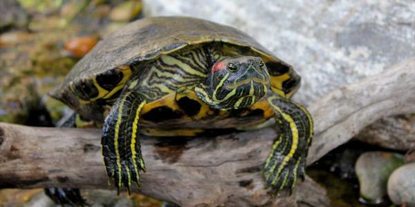 Домашние питомцы: красноухая черепаха