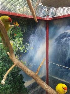 Прыгающий попугай - какарик